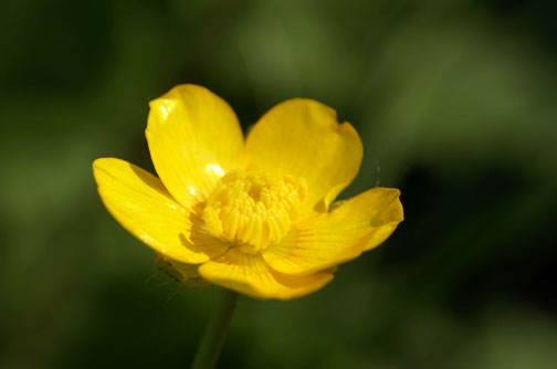 buttercup garden meadow pollen